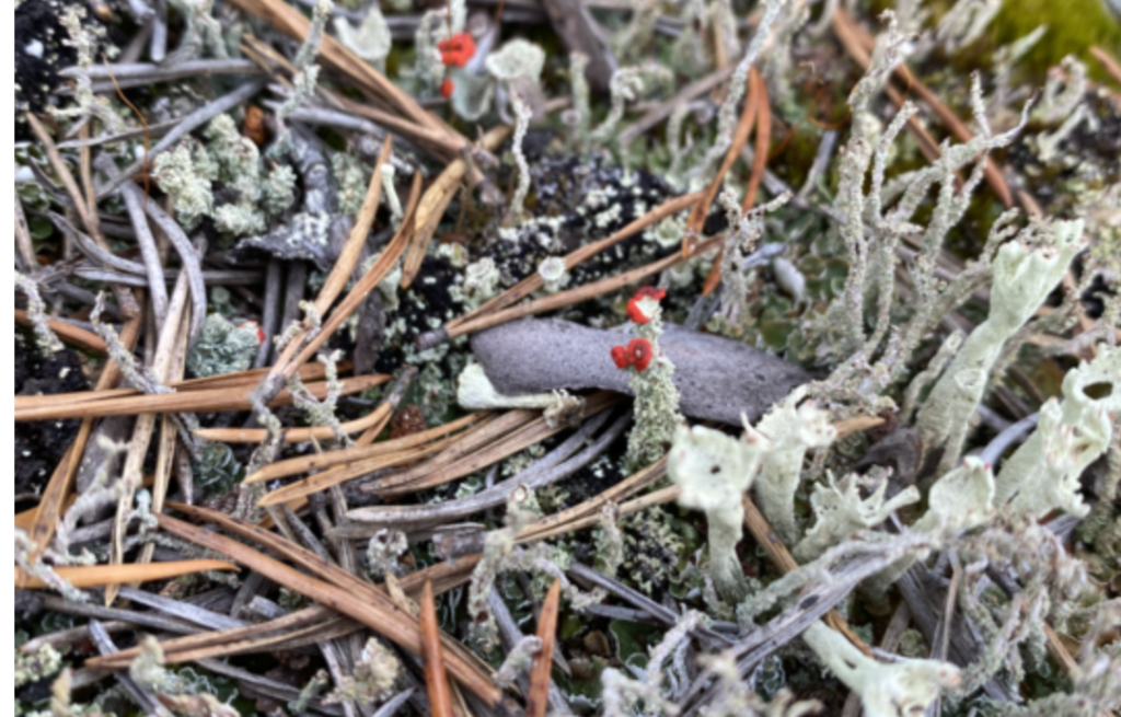Lauri Linna in Kuusamo image of Lichen